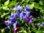 Erdei gyöngyköles / Buglossoides purpurocaerulea